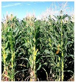 Green Maize.