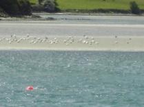 Gulls in Ring tide ebbing.